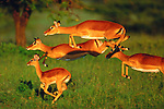 When I spotted a herd of sprinting impala, I initiated the autofocus on my Canon EF 600mm lens  and panned with the movement of the animals. To my amazement, I was able to get several sharply focused frames. In this shot of four impala, only one hoof is touching the ground. Masai Mara National Park, Kenya