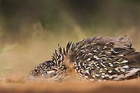 Greater Roadrunner (Geococcyx californianus),adult dust bathing, Starr County, Rio Grande Valley, Texas, USA