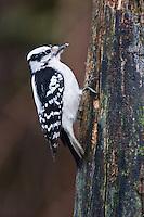 Downy Woodpecker (Picoides pubescens), female, foraging on a dead stump. Michigan.