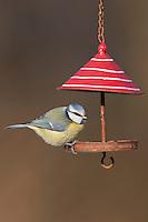 Blaumeise, an der Vogelfütterung, Fütterung, im mit Körnern gefüllten Futterhäuschen, Vogelhäuschen, Futterhaus, Vogelhaus, Winterfütterung, Blau-Meise, Meise, Cyanistes caeruleus, Parus caeruleus, blue tit