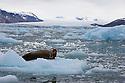 Norway, Svalbard,  bearded seal (Erignathus barbatus) on ice floe