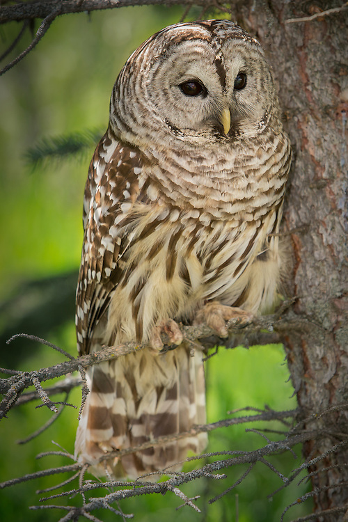 Barred Owl perched in a Spruce tree