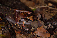 A Mimicking Rain Frog, Eleutherodactylus mimus, is nearly invisible on the rainforest floor; La Selva, Costa Rica