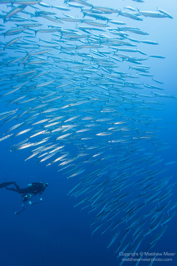Kauehi Atoll, Tuamotu Archipelago, French Polynesia; an underwater photographer approaches a school of Heller's barracuda, swimming in the blue at the edge of a coral reef wall