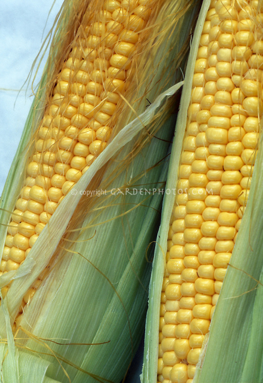 Ears of corn 'Gourmet' sweet yellow variety showing two corn cobs with yellow kernels