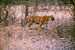 Tiger, Ranthambhore National Park, India