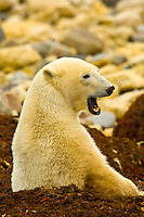 A Polar bear yawning, Hudson Bay, near Churchill, Manitoba, Canada