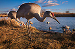 Sandhill cranes and mallard ducks, George C. Reifel Migratory Bird Sanctuary, British Columbia, Canada