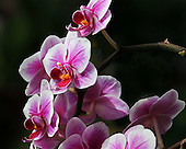 Phalaenopsis or Phal species are a very familiar orchid species.  They are native throughout Southeast Asia from the Hymlayen Mountains to the Philippines and northern Australia.  A large number of hybrids of these species have been developed making them one of the most popular and best orchid for growing in the home.  They bloom in their full glory for several weeks and when kept in the home, the flowers may last two to three months.  Being epiphytic shade plants or lithophytes, that is they are non non-parasitic deriving most of their nutrition from the air and water, they are every easy to care for.<br />