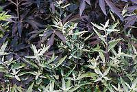 Caryopteris x clandonensis Sterling Silver ('Lissilv'), Sambucus Black Lace ('Eva)