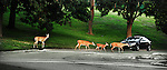 A white tailed deer hesitates to make sure traffic has stopped as a wild family routinely uses a cross walk in a municipal park in a city where deer have caused multiple accidents.