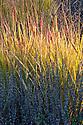 Panicum virgatum 'Rehbraun', early November. Sometimes known as Switch grass, Brown deer switch grass, or Wand panic grass.