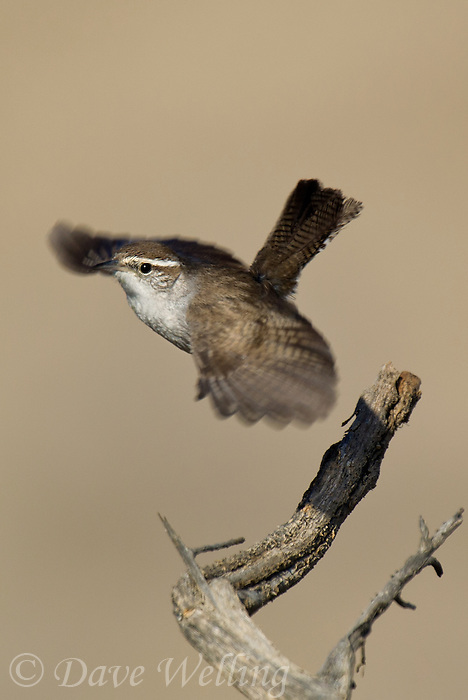 598030012v a wild bewick's wren thryomanes bewickii  perched on a twig in kern county california united states