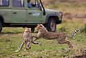 Grown cheetah cubs (Acinonyx jubatus) playing near safari vehicle, Maasai Mara, Kenya