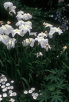 Iris 'Alpine Majesty' ensata irises, white flowered Japanese irises in bloom in spring in white garden with fragrant Dianthus pinks