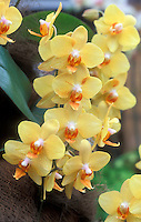 Phalaenopsis Mystik Golden Leopard 'Cheetah', HCC/AOS Moth Orchid multiflora, sweetheart phal type in yellow and orange colors showing spray of many flowers