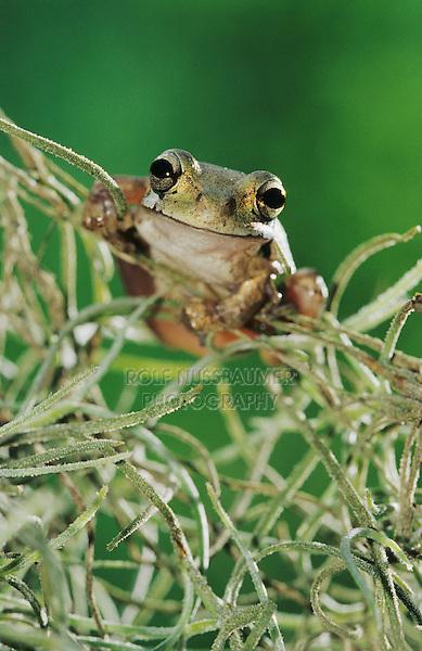 Mexican Treefrog, Smilisca baudinii, adult in Spanish Moss (Tillandsia usneoides), The Inn at Chachalaca Bend, Cameron County, Rio Grande Valley, Texas, USA