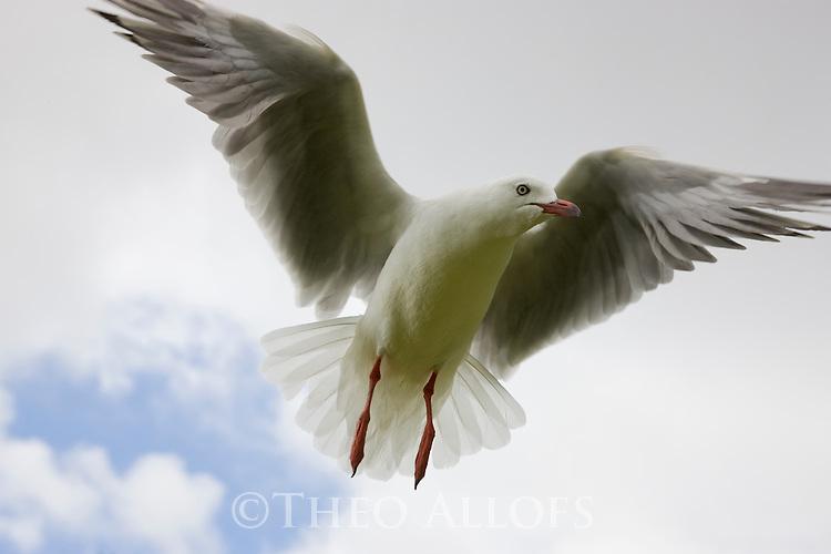 Gull in flight, North Island, New Zeland