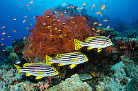 A trio of Oriental Sweetlips, Plectorhinchus vittatus, hover near a gorgonian coral, surrounded by anthias fish. Vatu-i-ra, Bligh Water, Fiji, Pacific Ocean