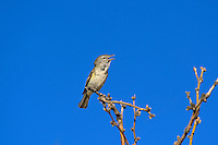 590460005 a wild bell's vireo vireo belli arizonae sings from a dead branch in the madera canyon grasslands area east of green valley arizona