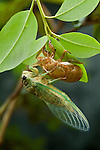 Scissor Grinder cicadas ( Tibicen auletes ), are the largest species found in the Southeastern United States. They fly from July until late summer.