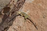 442800009 a wild yellow-backed spiny lizard sceloparus uniformis perches on a rock along chalk cliffs road bishop california united states