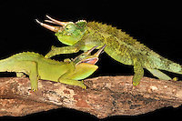 Jackson's Chameleons (Chamaeleo jacksonii) fighting, captive.