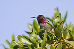 An anna's hummingbird pauses from its rapid flight to warm itself in the sun