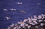 Northern Gannets, Canada (Vulnerable)