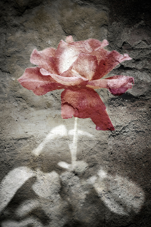 Digital composite of a rose