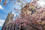 It seems like this Spring's been going on forever! The play of cool and warm colors against the flare of the midday sun grabbed my attention while walking past the Divinity School and Duke Chapel.<br />