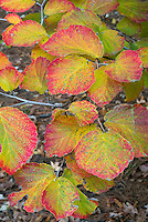Hamamelis x intermedia Diane witch-hazel in autumn fall foliage color
