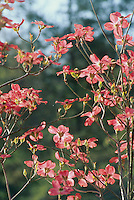 Pink Dogwood, Conus florida, tree blooming in spring