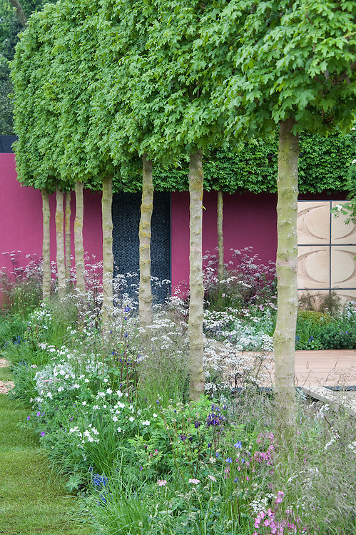 A row of pleached field maples (Acer Campestre). The Brewin Dolphin Garden, designed by Robert Myers, Gold medal winner, RHS Chelsea Flower Show 2013.