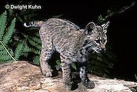 MA26-053z  Bobcat - Felis rufus
