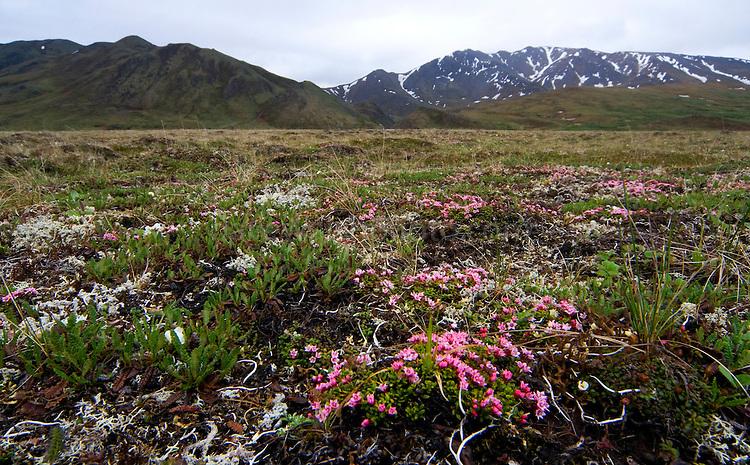 Alpine Tundra vegetati...