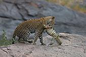 Young Leopard (Panthera pardus) killing Nile Monitor (Varanus niloticus), Masai Mara National Reserve, Kenya, Africa.