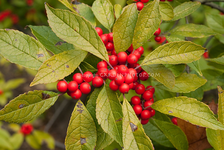Ilex verticillata Winterberry closeup of clusters of red berries with foliage leaves