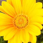 Tucson, Arizona; a yellow Gazania flower in a flower bed
