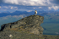 dall sheep stands on a rock outcrop in Denali National Park, Alaska