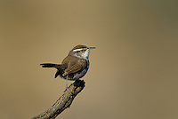 598030027 a wild bewick's wren thryomanes bewickii  perched on a twig in kern county california united states