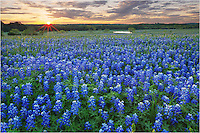 Bluebonnets were not out in full force in the spring of 2013, but there were some nice patches of Texas' favorite wildflower to be found. In Ennis, Texas, I found this little field where I could shoot east into the rising sun and capture a sea of blue that stretched deep into the pasture.