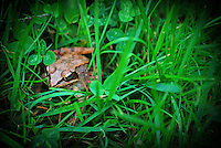Wood Frog amongst the grass and clover.