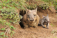 Southern Hairy-nosed Wombat (Lasiorhinus latifrons) adult and young at burrow entrance, Queensland, Australia. Captivity.