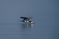 578613004 a wild black skimmer rynchops niger lives up to its name as it skims across a pond at the salton sea national wildlife refuge in california searching for fish