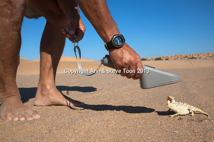 Namaqua chameleon (Chamaeleo namaquensis), being scanned for microchip, part of conservation project, Namib Desert, Namibia, April 2013
