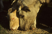 cow and calf eating grain outside in barn yard