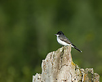 Eastern Kingbird (tyrannus tyrannus) sitting on a tree stump waiting to catch insects
