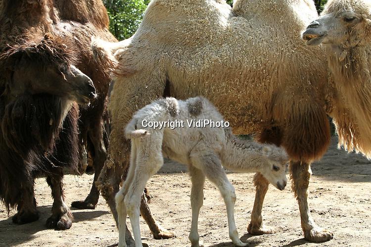 Foto: VidiPhoto..RHENEN - Voor het eerst in vier jaar heeft Ouwehands Dierenpark weer een blonde kameel. Het vorige week geboren diertje mocht dinsdag met moeder Dolores (r) voor het eerst naar buiten en daarna de rest van de kamelenfamilie ontmoeten. Bijzonder aan het jong is de blonde vachtkleur. Meestal zijn kamelen donkerbruin van kleur.