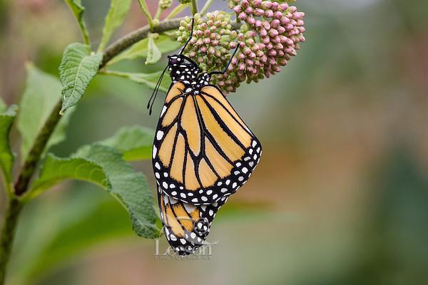 Western Monarch Butterfly (Danaus plexippus) on milkweed plant.  OR.  Summer.